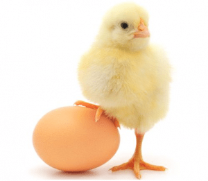 цыпа с яйцом
