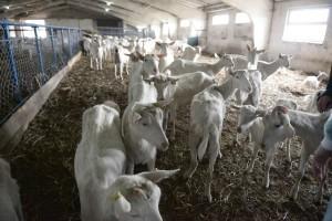 тузенко козы