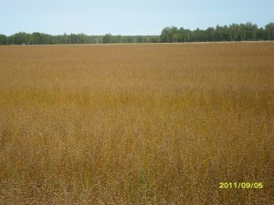 Посевы льна-долгунца в КФХ Слесарёва Ю.А. в Большеуковском районе Омской области
