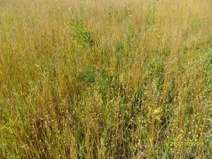 Рис. 2 – Изреженные посевы льна без применения гербицидов