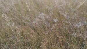Рис. 1 - Посев льна-долгунца на семена после рапса