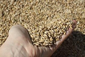 ООО Сибирские органические продукты - органическое зерно