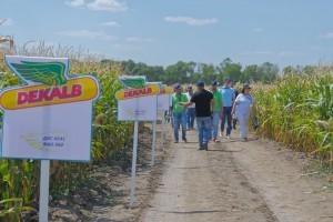 Делянки гибридов кукурузы DEKALB